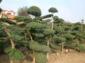 金丝桃、棣棠、云南黄馨、早园竹、十大功劳、葱兰、结香、杜鹃