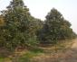毛白杨、池杉、新疆杨、柳杉、白腊、杜英、重阳木、耐寒广玉兰