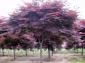 刺槐、香花槐、五角枫、龙爪槐、三角枫、千头椿、复叶槭、白榆